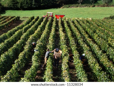 Wine harvest in France
