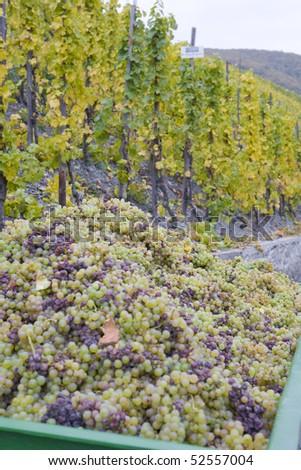 wine harvest, vineyard near Bernkastel, Rheinland Pfalz, Germany