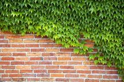 Wine plants at a brick wall