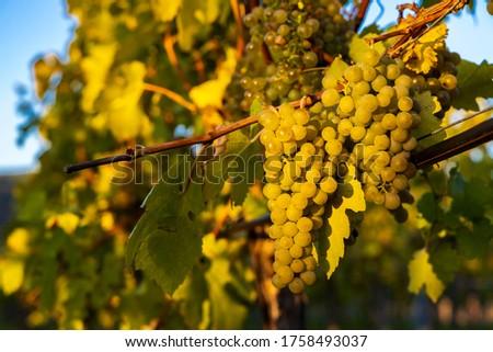 wine region Wachau at wine harvest time in Austria Foto stock ©