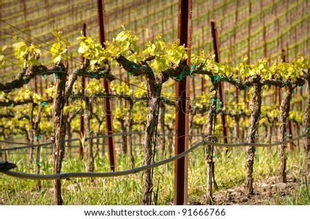 Wine Vineyard in the Spring