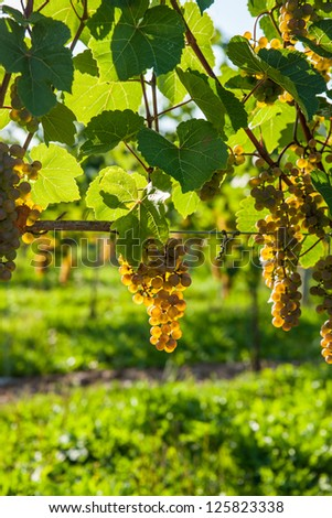Wine wine grapes ready for harvest - stock photo