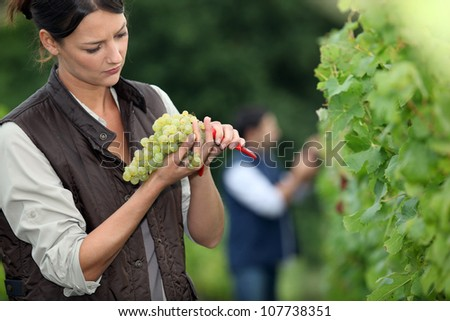 Winemaker with bunch of grapes