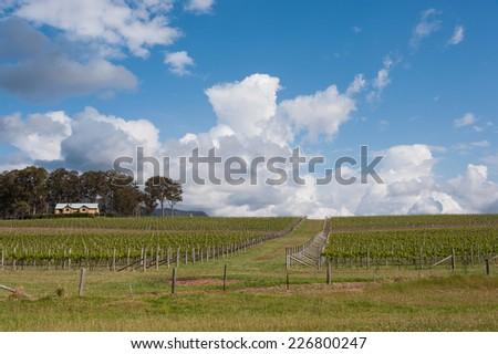 winery farm, vineyard in hunter valley, nsw , australia