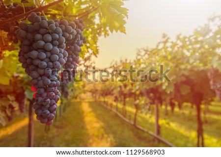 winery in Napa  #1129568903