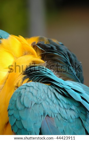 Wing and upper back of blue and yellow macaw hiding it\'s head under wing