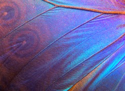 Wing of a butterfly Morpho texture background. Morpho butterfly.