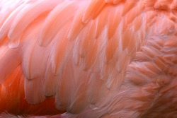 Wing pattern of Orange Flamingo and clean feathers