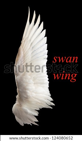 Wing white swan close-up. Isolation. On a black background.