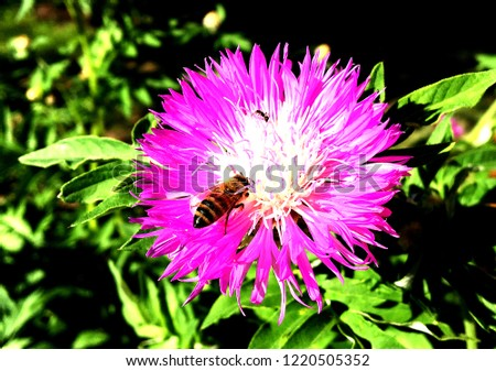 Winged bee slowly flies to the plant, collect nectar for honey on private apiary from flower. Nature cadre consisting for beautiful flowers, yellow pollen on bees legs. Sweet nectar honeyed bee honey.