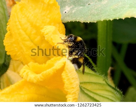 Winged bee slowly flies to the plant, collect nectar for honey on private apiary from flower. Honey clip consisting for beautiful flowers, yellow pollen on bees legs. Sweet nectar honeyed bee honey.