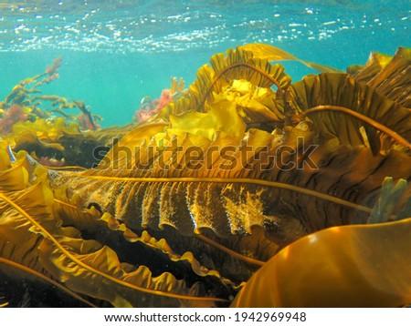 Winged kelp bathing in sunlight Foto d'archivio ©