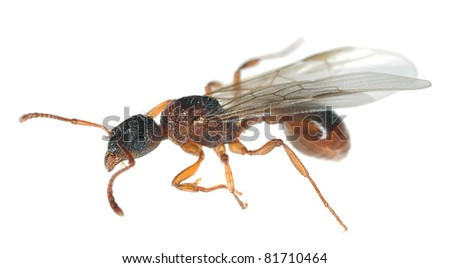 Winged red ant isolated on white background