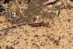 Wingless Grasshopper (Phaulacridium vittatum) South Australia