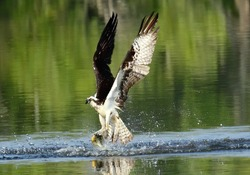 Wings extended Osprey coming out of the water with a fish. Pandion haliaetus.