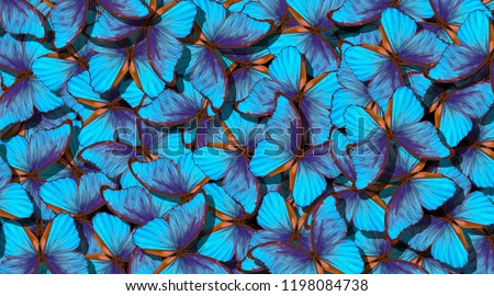Wings of a butterfly Morpho. Flight of bright blue butterflies abstract background. #1198084738