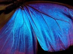 Wings of a butterfly Morpho texture background.