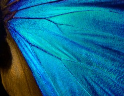 Wings of a butterfly Morpho texture background. Morpho butterfly