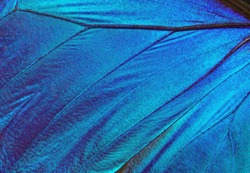 Wings of a butterfly Morpho texture background. Morpho butterfly.