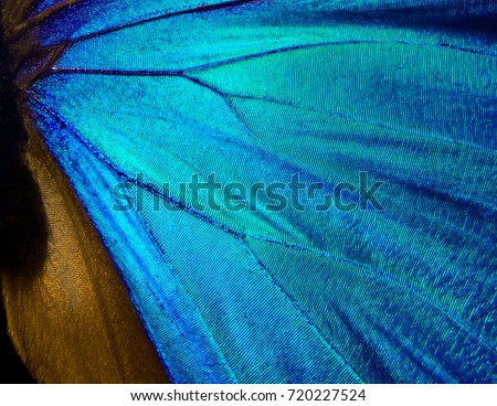 Wings of a butterfly Morpho texture background. Morpho butterfly #720227524