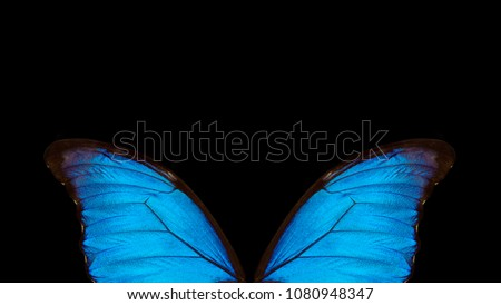Wings of a butterfly Morpho texture background. Morpho butterfly. Copy spaces.