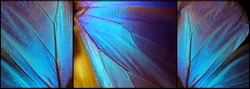 Wings of a butterfly Morpho texture background. Morpho butterfly. Triptych.