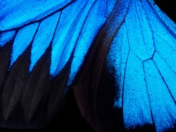 Wings of a butterfly Ulysses. Wings of a butterfly texture background. Closeup.