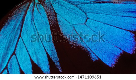 Wings of a butterfly Ulysses. Wings of a butterfly texture background. Photo of butterfly wings. Closeup.
