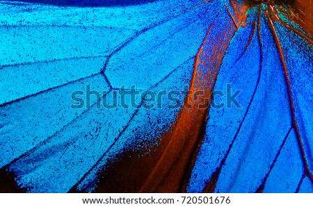 Wings of the butterfly Ulysses. Closeup. Wings of a butterfly texture background. #720501676