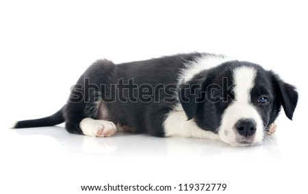wink of puppy border collie in front of white background - stock photo