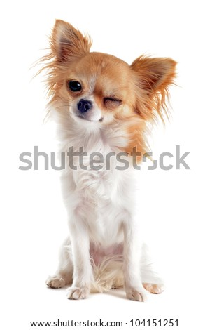 wink of  purebred  puppy chihuahua in front of white background
