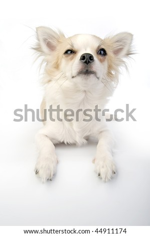 Winking chihuahua puppy lying on white