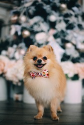 Winnie the Pomeranian. Little active dog in the new year's Studio