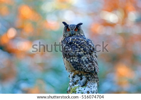 Winter and autumn forest with beautiful Eurasian Eagle Owl, Bubo Bubo, sitting on the tree stump, wildlife photo in the forest, orange autumn colour, Norway.