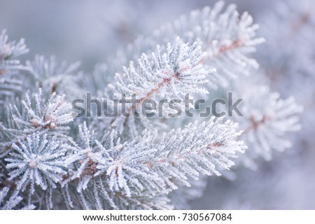 Winter and Christmas Background. Close-up Photo of Fir-tree Branch Covered with Frost and Snow.