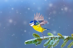 Winter and cute bird. Cold day and New Year. Blue nature background.