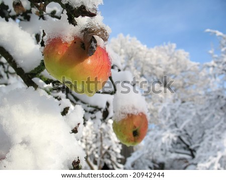 Winter apple