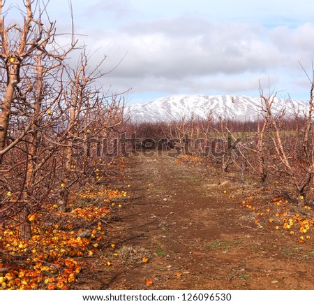 Winter apple orchard at the bottom of the snow-covered mountain of Hermon in the north of Israel