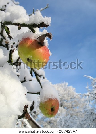 Winter apple vertical
