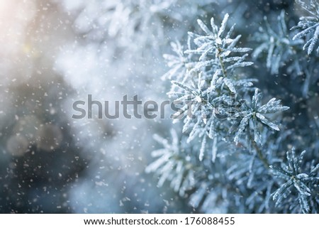 Winter background, close up of frosted pine branch on a snowing day with copy space