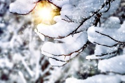 Winter background. Snow on tree branches.Trees in the snow.Beautiful winter landscape.branches close-up under the snow