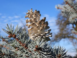 winter background with brach of a pine tree