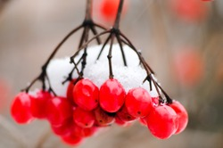 winter background with red mountain ash