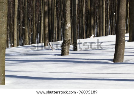 Winter Beech Forest - Light and Shadow