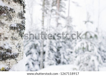Winter birch forest bokeh abstract background #1267118917