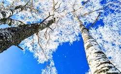 Winter birch tree forest snow nature in Russia, bottom up view