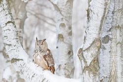 Winter bird on birch tree. Winter scene with Big Eastern Siberian Eagle Owl, Bubo bubo sibiricus, sitting in the birch tree with snow in the forest.