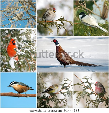 Winter birds of North America collage..