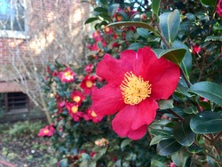 Winter blooming Red Yuletide Camellia flowers