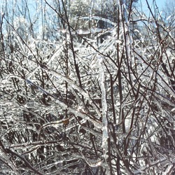 Winter branches covered in icicles